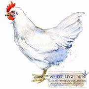 White Leghorn